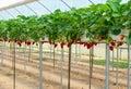Strawberry garden Royalty Free Stock Photo