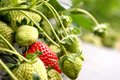 Strawberry growing in a garden Royalty Free Stock Photography