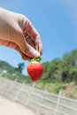 Strawberry on hand from plant field Royalty Free Stock Images