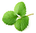 Strawberry leaf Royalty Free Stock Images