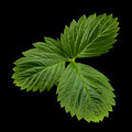 Strawberry leaf closeup isolated on black background Stock Photo