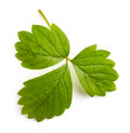 Strawberry leaf green on white background Stock Images