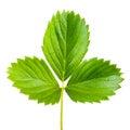 Strawberry leaf isolated Royalty Free Stock Photo