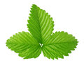 Strawberry leaf isolated on the white background Royalty Free Stock Photo