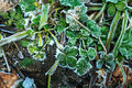 Strawberry leaves covered hoarfrost. Royalty Free Stock Photo