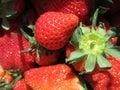 Strawberry in Miaoli Taiwan Royalty Free Stock Photo
