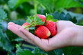 Strawberry on people hand Royalty Free Stock Photo