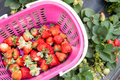 Strawberry picking basket of fresh strawberries in the field Stock Photos