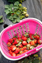 Strawberry picking basket of fresh strawberries in the field Royalty Free Stock Photos