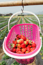 Strawberry picking farm basket of fresh strawberries in the field Stock Image