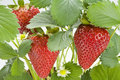 Strawberry Plant Royalty Free Stock Photography