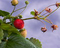 Strawberry plant Stock Photos