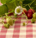 Strawberry plant Royalty Free Stock Photo
