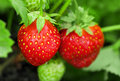 Strawberry plant Royalty Free Stock Photos