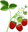 Strawberry plant with green leaves, flowers and ripe red berries Royalty Free Stock Photo