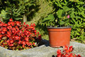 Strawberry plant and Hoya Flowers, Czech Republic, Europe Royalty Free Stock Photo