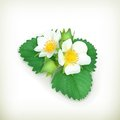 Strawberry plant illustration on white background Royalty Free Stock Images