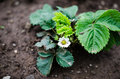 Strawberry plant with new leaves Stock Photo