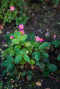 Strawberry plant with pink flowers Royalty Free Stock Photo