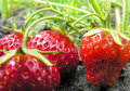 Strawberry plantation organically cultivated of Royalty Free Stock Images