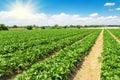 Strawberry plantation on a sunny day Royalty Free Stock Photography