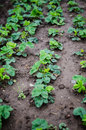 Strawberry plants with new leaves Stock Images