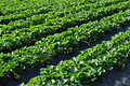 Strawberry plants rows Stock Image