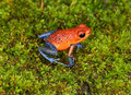 Strawberry poison dart frog, cahuita, costa rica blue jeans Royalty Free Stock Photo