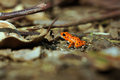 Strawberry poison dart frog oophaga pumilio bastimentos national park bocas del toro panama Stock Image