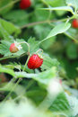 Strawberry ripe wild strawberries shallow depth of field Stock Images