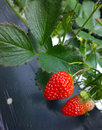 Strawberry rosaceae is a perennial herb nstrawberry scientific name fragaria × ananassa duch english Stock Photography