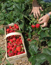 Strawberry season Stock Images