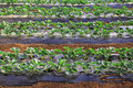 Strawberry seedlings in a green house on a farm