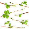 Strawberry shoots leaf closeup on white background Stock Photos