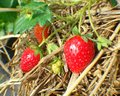 Strawberry thatch fruits farm field garden nature background Stock Photos