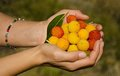 Strawberry tree arbutus unedo huesca spain hands holding Stock Images