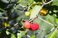 Strawberry tree arbutus unedo plant Royalty Free Stock Images