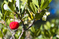 Strawberry tree arbutus unedo plant Stock Photo