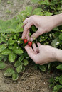 Strawberry in woman's hands Royalty Free Stock Image