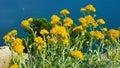 Strawflower sunlit yellow towards the sea Stock Image