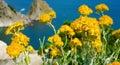 Strawflower sunlit yellow towards the sea Stock Photos
