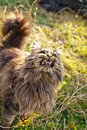 Stray cat growls at people Stock Image