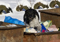 Stray dog black with white is eating in landfill Royalty Free Stock Photo