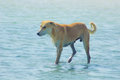 Stray Dog Hanging around on the Beach Enjoying the water Royalty Free Stock Photo