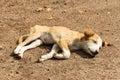 Stray dog puppy Royalty Free Stock Photo