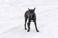 Stray dog is ready to defend territory own Royalty Free Stock Photo