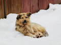 Stray dog with sad eyes on snow Royalty Free Stock Photography