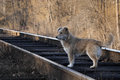 Stray dogs lonely dog on the railroad tracks Royalty Free Stock Photo