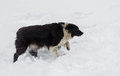 Stray hungry dog in search of some food at winter snowy season Royalty Free Stock Photography