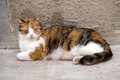 Stray red nursing female cat Royalty Free Stock Photography